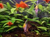 Рыбки, аквариумы Водные растения, цена 15 Грн., Фото