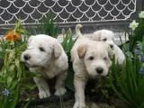 Собаки, щенята Південноросійська вівчарка, ціна 5000 Грн., Фото