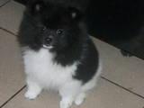 Собаки, щенята Карликовий шпіц, ціна 25000 Грн., Фото