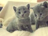 Кішки, кошенята Російська блакитна, ціна 5000 Грн., Фото