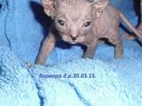 Кошки, котята Донской сфинкс, цена 1800 Грн., Фото