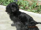 Собаки, щенята Російський спаніель, ціна 200 Грн., Фото
