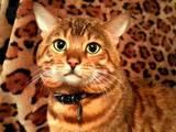 Кішки, кошенята Бенгальськая, ціна 2000 Грн., Фото