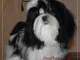 Собаки, щенки Ши-тцу, цена 4500 Грн., Фото
