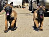 Собаки, щенки Бельгийская овчарка (Малинуа), цена 7000 Грн., Фото