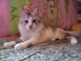 Кошки, котята Сомалийская, Фото