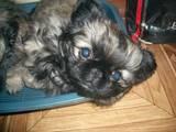Собаки, щенята Пекінес, ціна 2000 Грн., Фото