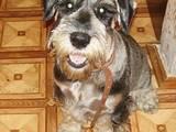 Собаки, щенята Міттельшнауцер, ціна 10 Грн., Фото