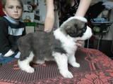 Собаки, щенята Московська сторожова, ціна 2000 Грн., Фото
