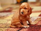Собаки, щенки Английский коккер, цена 1900 Грн., Фото
