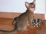 Кошки, котята Абиссинская, цена 13000 Грн., Фото