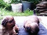 Собаки, щенки Пекинес, цена 500 Грн., Фото
