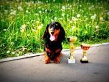 Собаки, щенята Довгошерста такса, ціна 2000 Грн., Фото