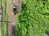 Собаки, щенки Восточно-Сибирская лайка, цена 700 Грн., Фото
