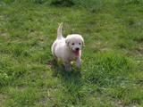 Собаки, щенки Золотистый ретривер, цена 5950 Грн., Фото