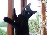 Кошки, котята Бомбейская, Фото