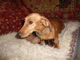 Собаки, щенята Гладкошерста такса, ціна 600 Грн., Фото