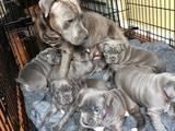 Собаки, щенки Американский бульдог, цена 4500 Грн., Фото