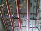 Папуги й птахи Канарки, ціна 450 Грн., Фото