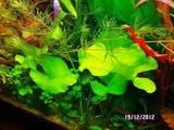 Рибки, акваріуми Водні рослини, ціна 5 Грн., Фото
