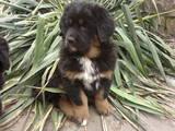 Собаки, щенки Тибетский мастиф, цена 40000 Грн., Фото