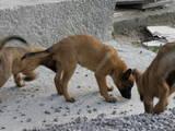 Собаки, щенята Бельгійська вівчарка (Малінуа), ціна 2000 Грн., Фото