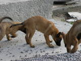 Собаки, щенки Бельгийская овчарка (Малинуа), цена 2000 Грн., Фото