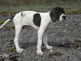 Собаки, щенята Англійський пойнтер, ціна 4000 Грн., Фото