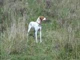 Собаки, щенки Английский пойнтер, цена 4000 Грн., Фото