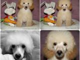 Собаки, щенята Той-пудель, ціна 6000 Грн., Фото
