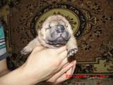 Собаки, щенки Шарпей, цена 3000 Грн., Фото