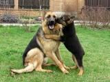 Собаки, щенята Німецька вівчарка, ціна 950 Грн., Фото