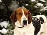 Собаки, щенки Русская борзая, цена 100 Грн., Фото