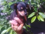 Собаки, щенки Русский гладкошерстный тойтерьер, цена 5000 Грн., Фото