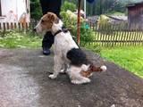 Собаки, щенята Жорсткошерстий фокстер'єр, Фото