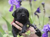 Собаки, щенки Ризеншнауцер, цена 3000 Грн., Фото