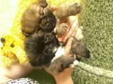 Собаки, щенята Пекінес, ціна 650 Грн., Фото