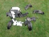 Собаки, щенки Турецкий кангал, цена 5000 Грн., Фото