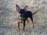 Собаки, щенята Російський гладкошерстий тойтерьер, ціна 5000 Грн., Фото