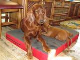 Собаки, щенята Ірландський сетер, ціна 7000 Грн., Фото