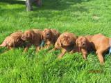 Собаки, щенки Ирландский сеттер, цена 7000 Грн., Фото