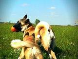 Собаки, щенята Американський акіта, ціна 23000 Грн., Фото