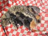 Кішки, кошенята Сибірська, ціна 50 Грн., Фото