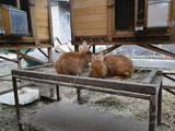 Гризуни Кролики, ціна 80 Грн., Фото