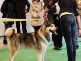 Собаки, щенята Аляска маламут, Фото