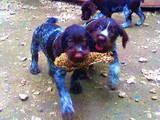 Собаки, щенята Різне, ціна 4000 Грн., Фото