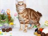 Кішки, кошенята Курильський бобтейл, ціна 3000 Грн., Фото