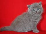Кошки, котята Шотландская вислоухая, цена 800 Грн., Фото