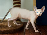 Кошки, котята Канадский сфинкс, цена 8000 Грн., Фото