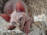 Кошки, котята Канадский сфинкс, цена 6000 Грн., Фото